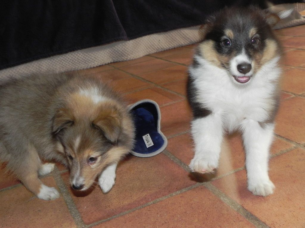 du Cèdre Enchanté - Chiot disponible  - Shetland Sheepdog