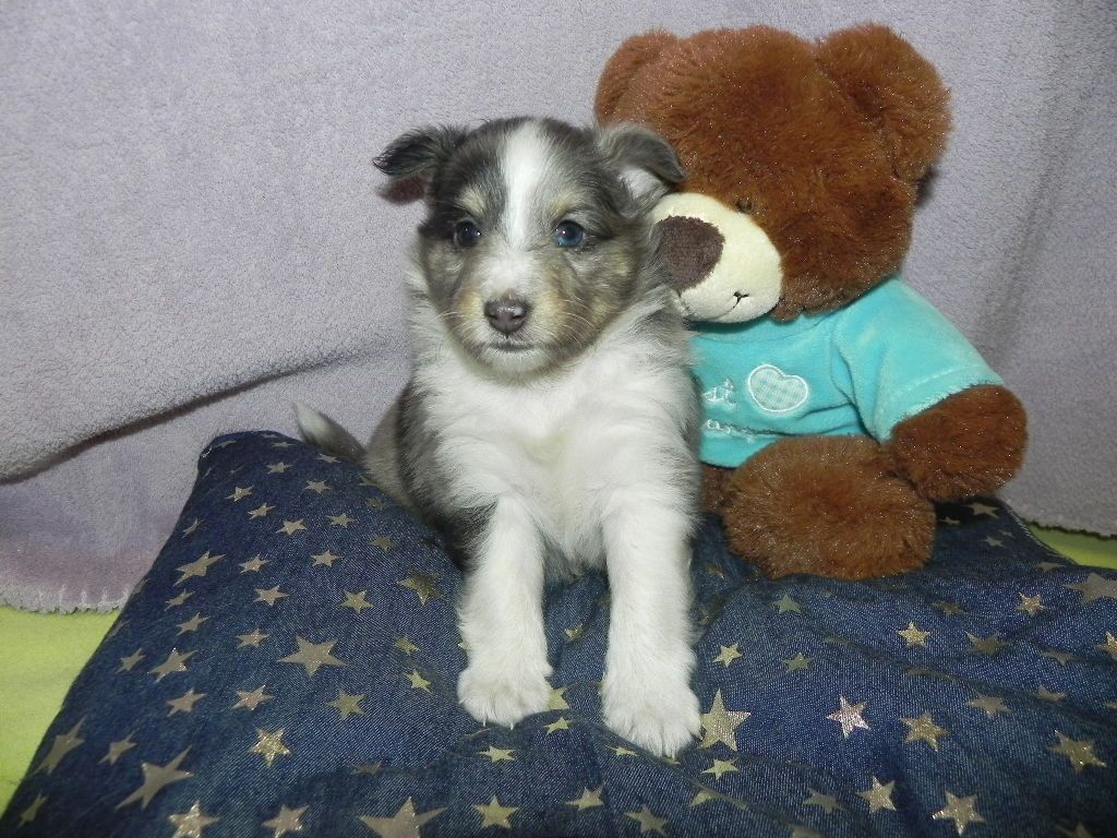du Cèdre Enchanté - Chiot disponible  - Shetland Sheepdog