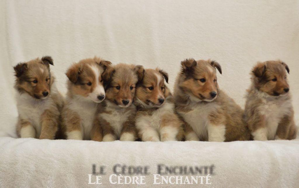 du Cèdre Enchanté - Shetland Sheepdog - Portée née le 04/02/2021