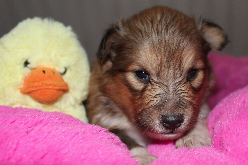 Oréade du cèdre enchanté - Shetland Sheepdog