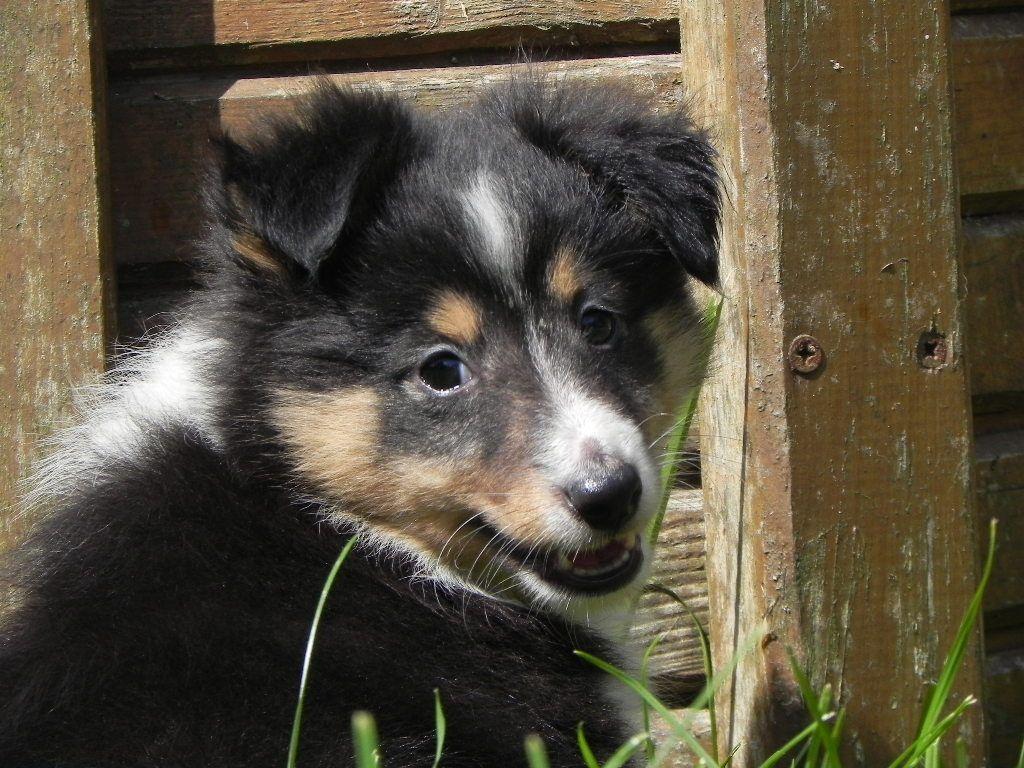 chiot Shetland Sheepdog du Cèdre Enchanté