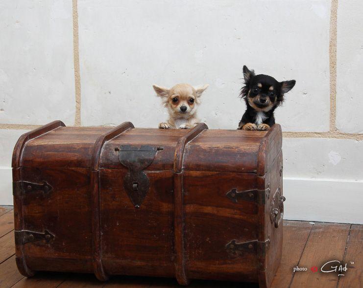du Cèdre Enchanté - Chiot disponible  - Chihuahua