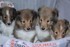 du Cèdre Enchanté - Shetland Sheepdog - Portée née le 21/05/2018