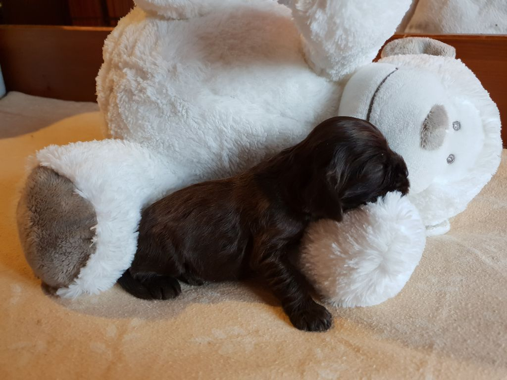of Islands Bears - Chiot disponible  - American Cocker Spaniel