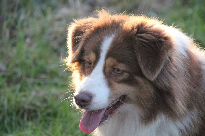 Accueil - Elevage de la Croix d'Atal - eleveur de chiens
