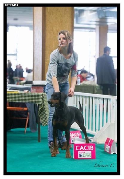 chien elevage de la croix d 39 atal eleveur de chiens dobermann. Black Bedroom Furniture Sets. Home Design Ideas