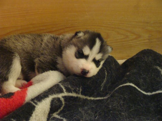 of the Burning Daylight - Chiot disponible  - Siberian Husky
