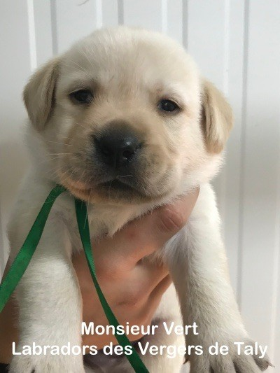 Jingle tinkle - Chiot disponible  - Labrador Retriever