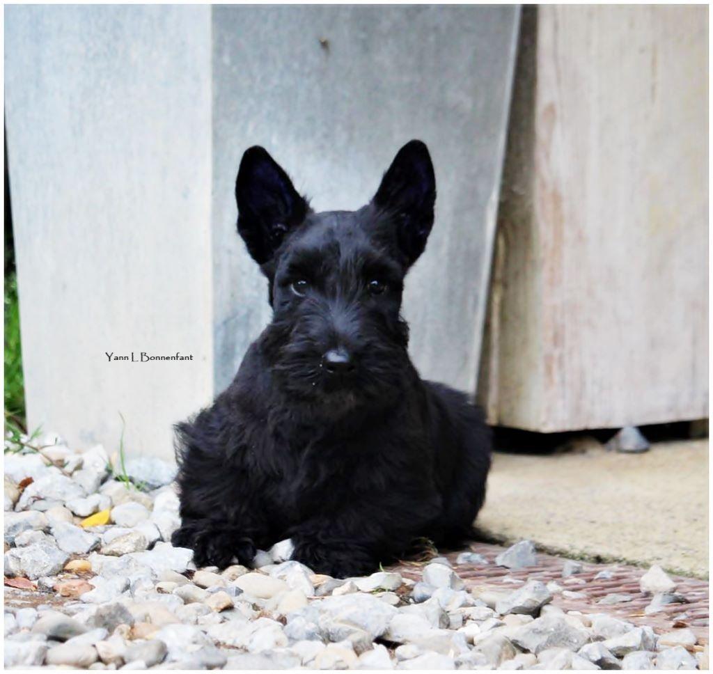 D'Ainhoa - Chiot disponible  - Scottish Terrier