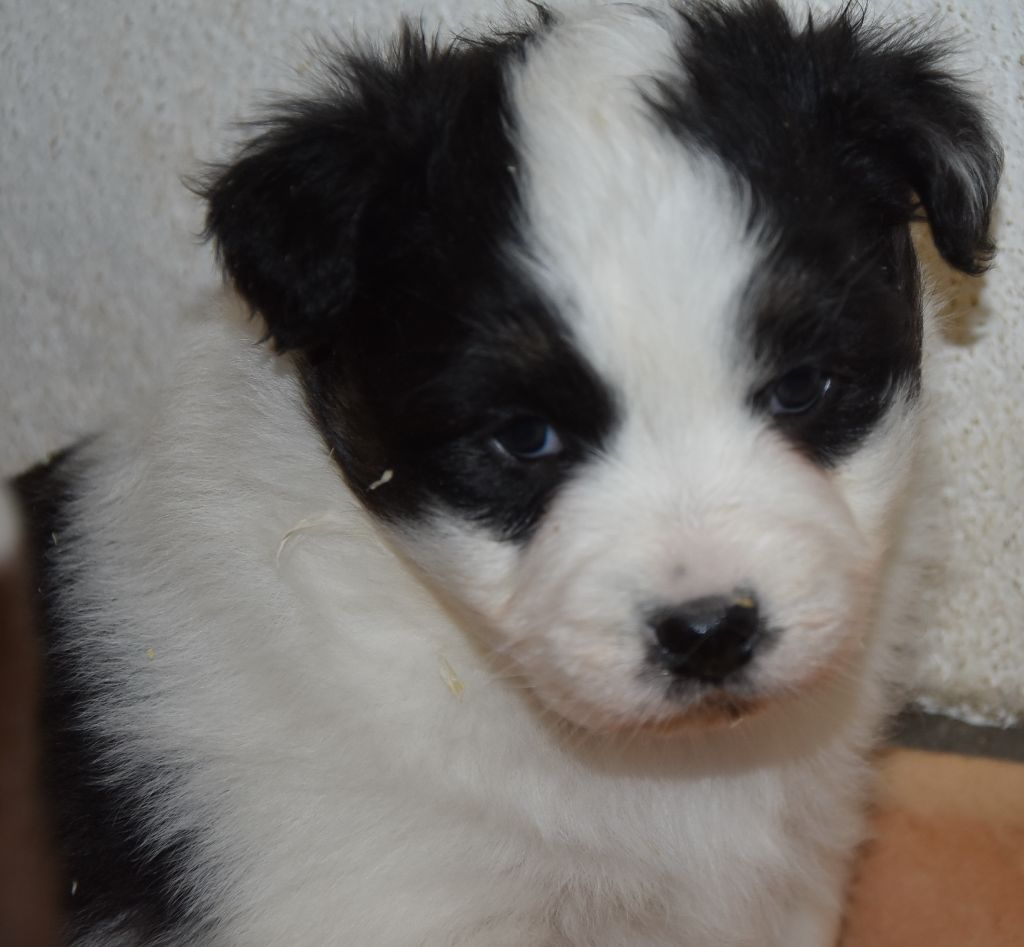 De la combe berail - Chiot disponible  - Berger Australien