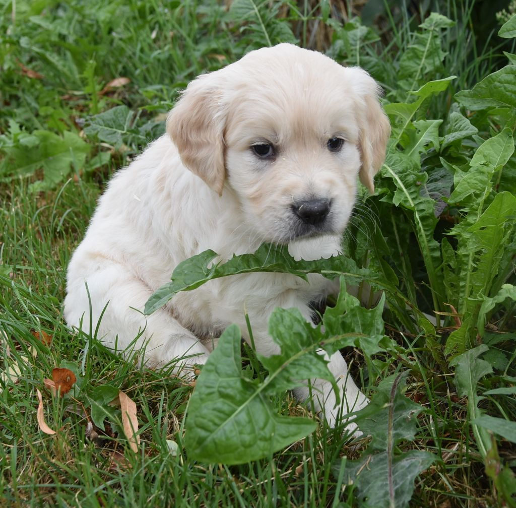 ORPI MALE SABLE - Golden Retriever