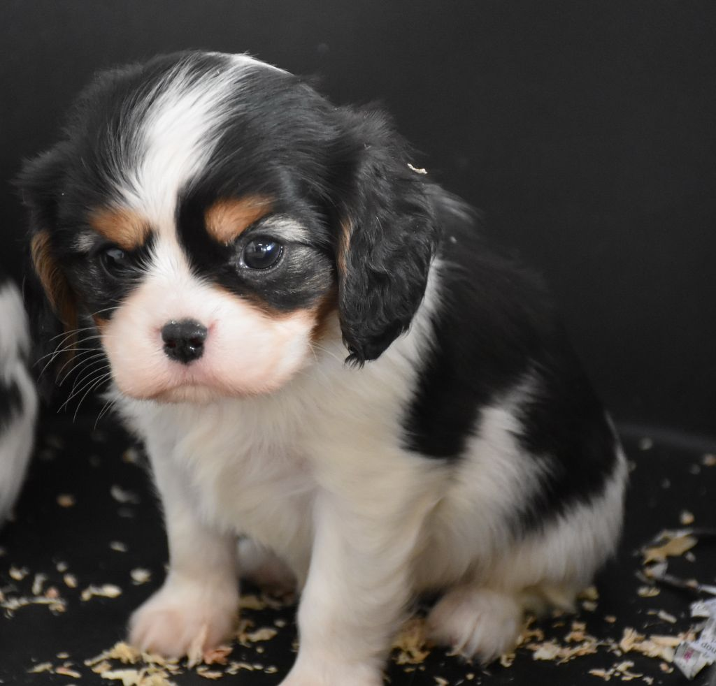 PHILOO male tricolore - Cavalier King Charles Spaniel