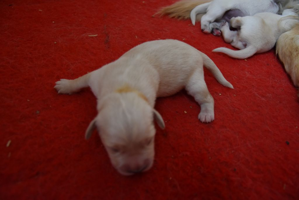 De la combe berail - Chiot disponible  - Golden Retriever