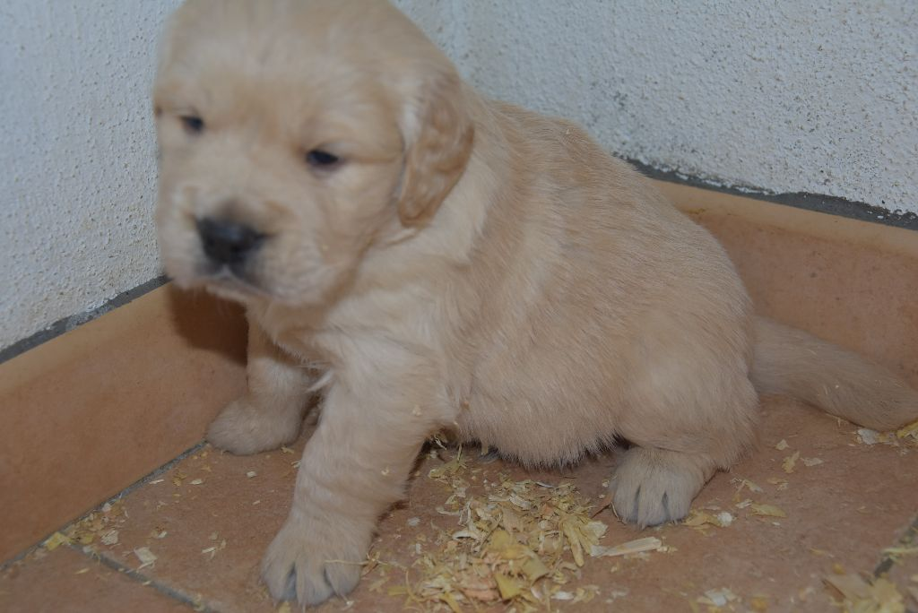 OK male fauve clair - Golden Retriever