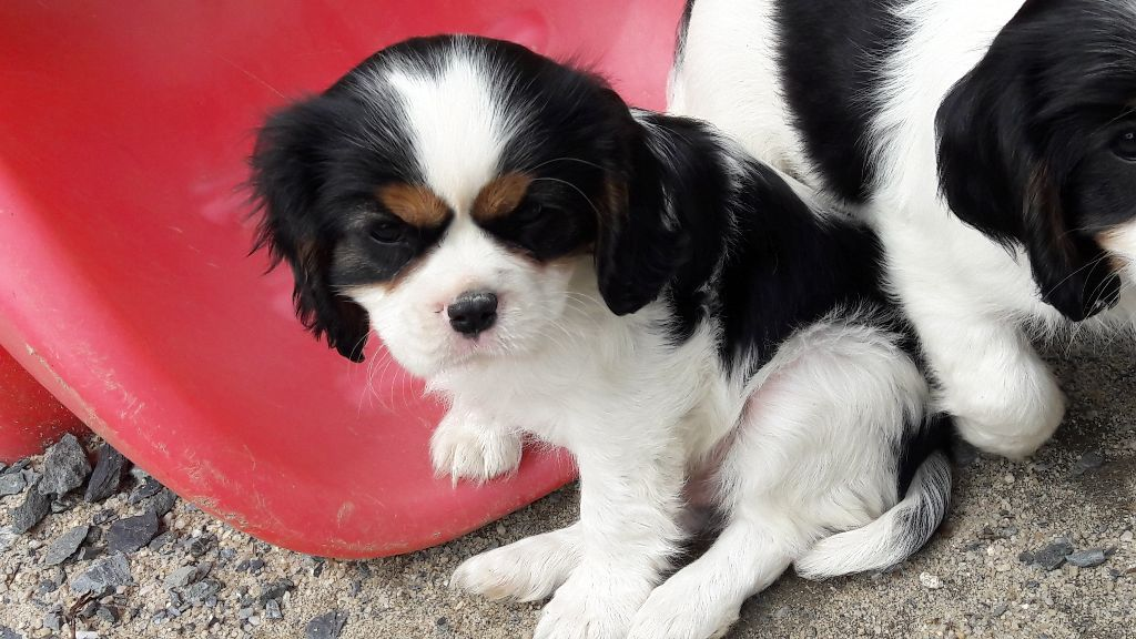 NABAB male tricolore - Cavalier King Charles Spaniel