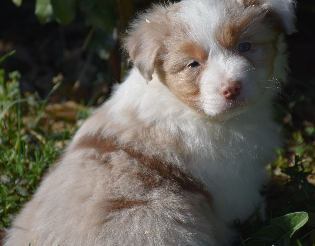PITCH male rouge merle - Berger Australien