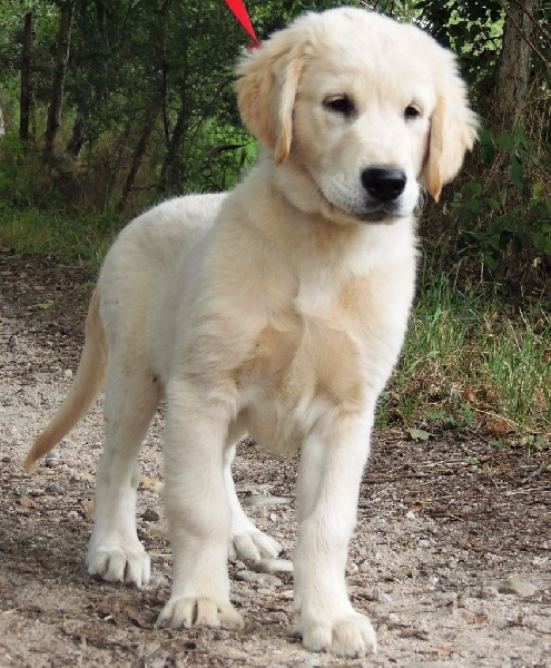 Comportement Du Chiot Golden Retriever