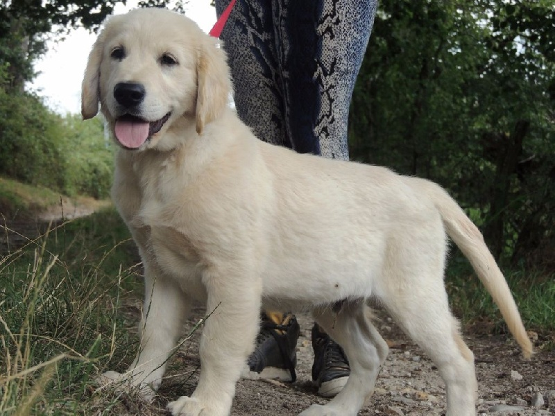 Prix D Un Golden Retriever En Elevage More Information