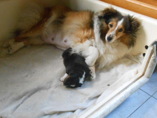 de l'Abyss du Bout des Terres - Chiot disponible  - Shetland Sheepdog