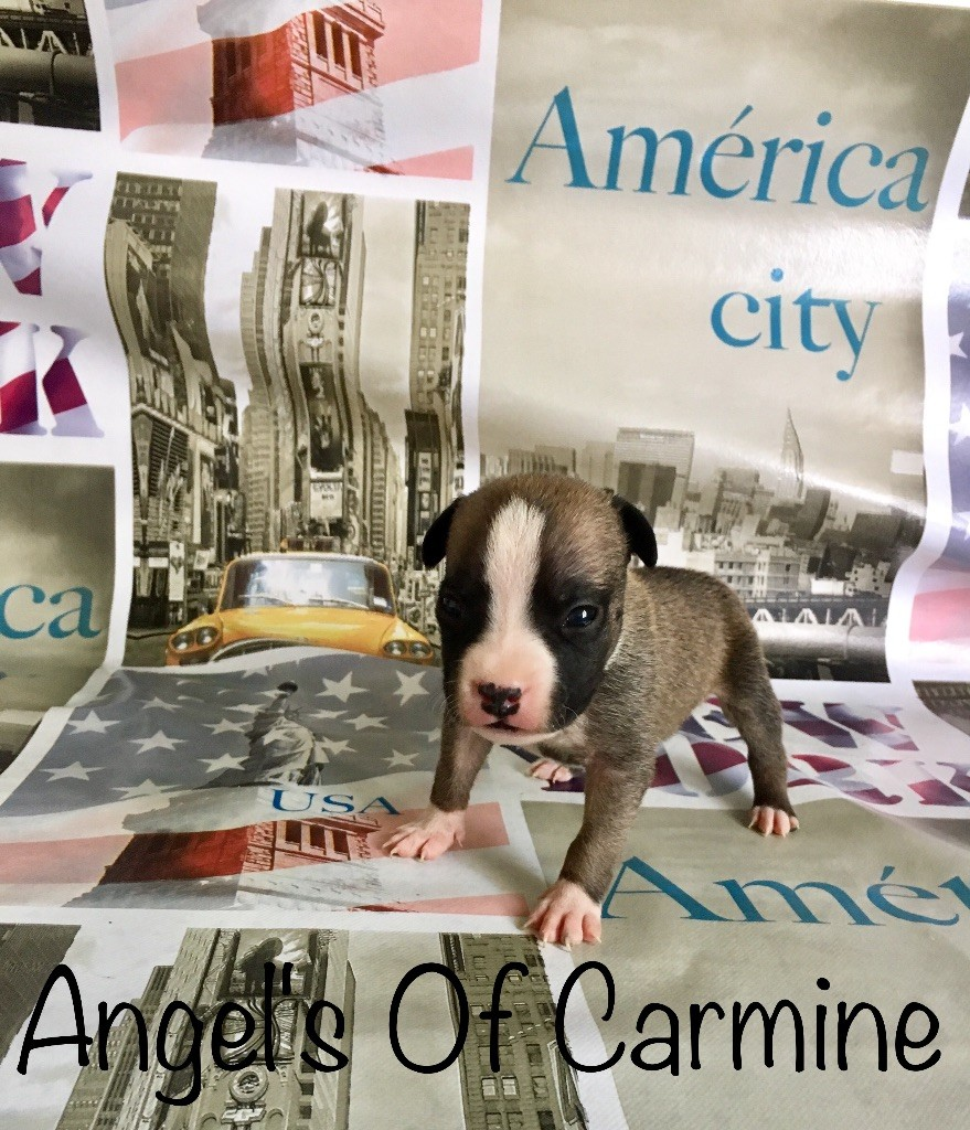 de Angel's of Carmine - Chiot disponible  - American Staffordshire Terrier