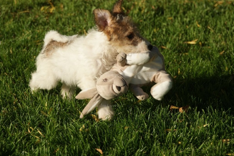 du Moulin des Licornes - Chiot disponible  - Fox Terrier Poil Dur