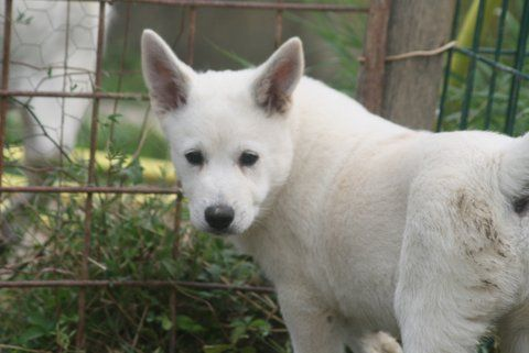 de Solemel - Chiot disponible  - Canaan Dog