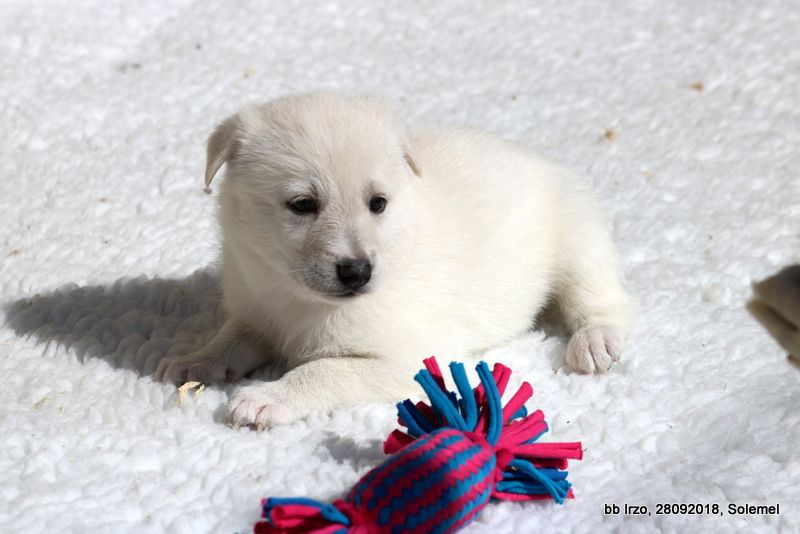 de Solemel - Chiot disponible  - Canaan Dog