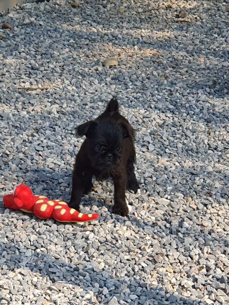du Crépuscule de l'Ange Rouge - Chiot disponible  - Griffon belge
