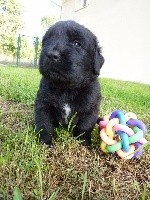 CHIOT 1.5  mois