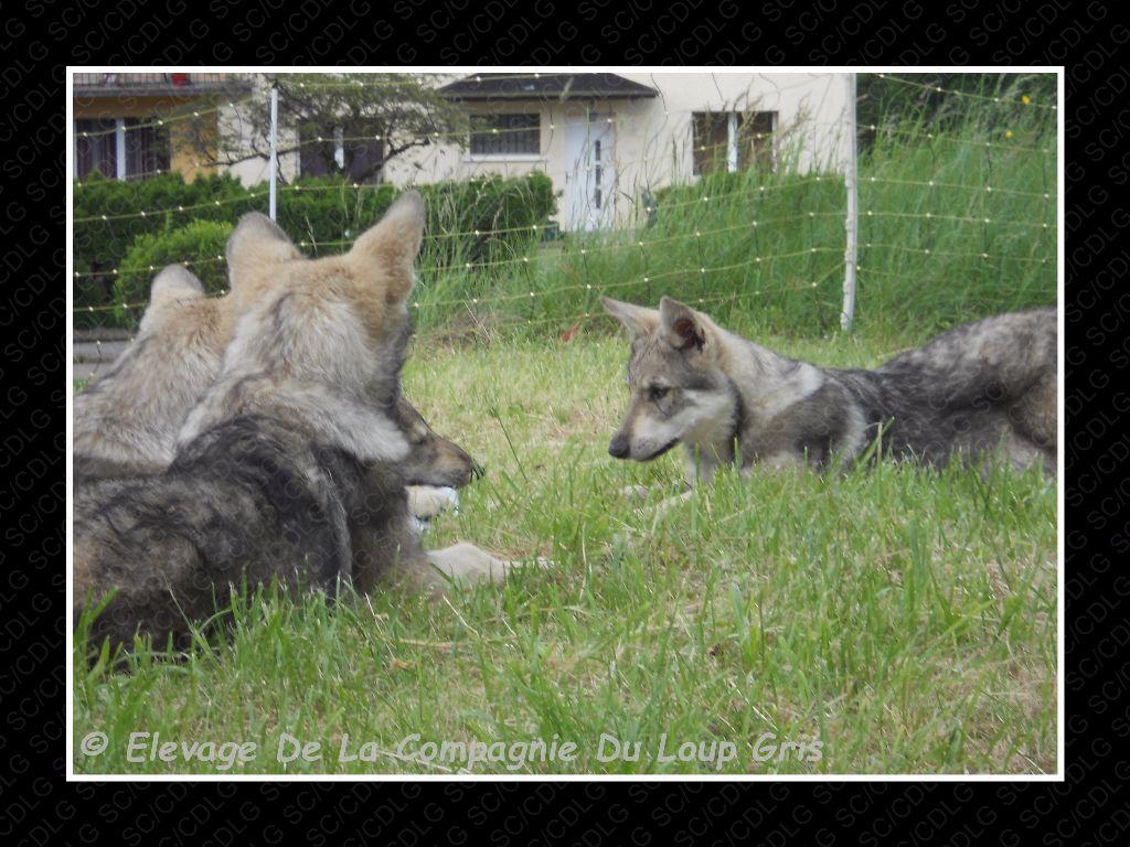 de la compagnie du loup gris - Portée 2017 - 3 Chiots Disponibles !