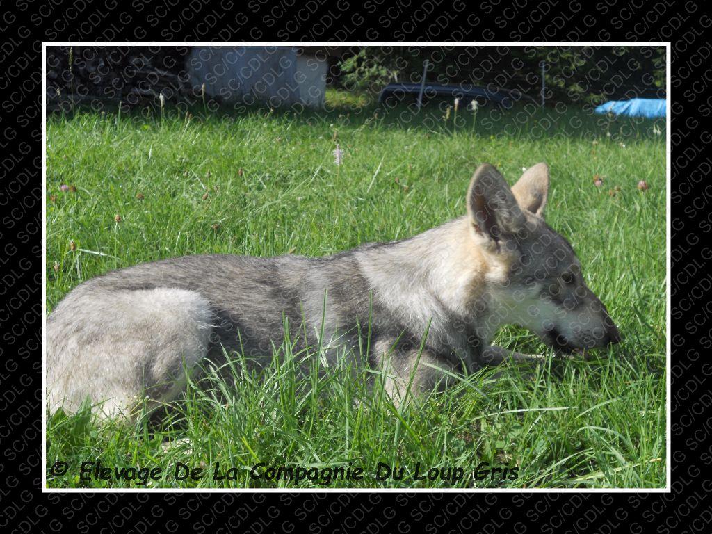 de la compagnie du loup gris - DISPONIBLE NORMANDIE-NIEMEN DE LA COMPAGNIE DU LOUP GRIS