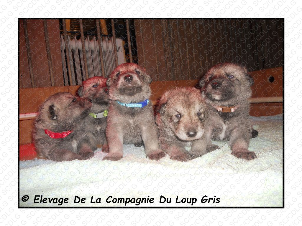 chiot Chien-loup de Saarloos de la compagnie du loup gris