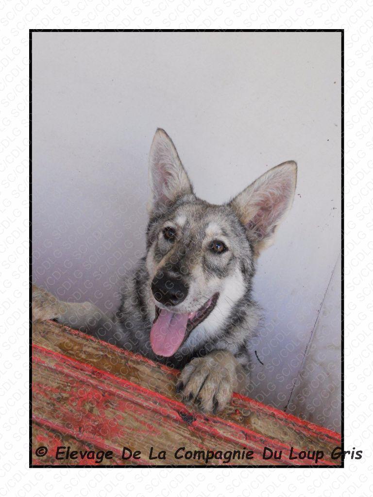 de la compagnie du loup gris - Chiot disponible  - Chien-loup de Saarloos