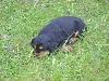 Chiot - Elevage du Kreizker - eleveur de chiens Cocker