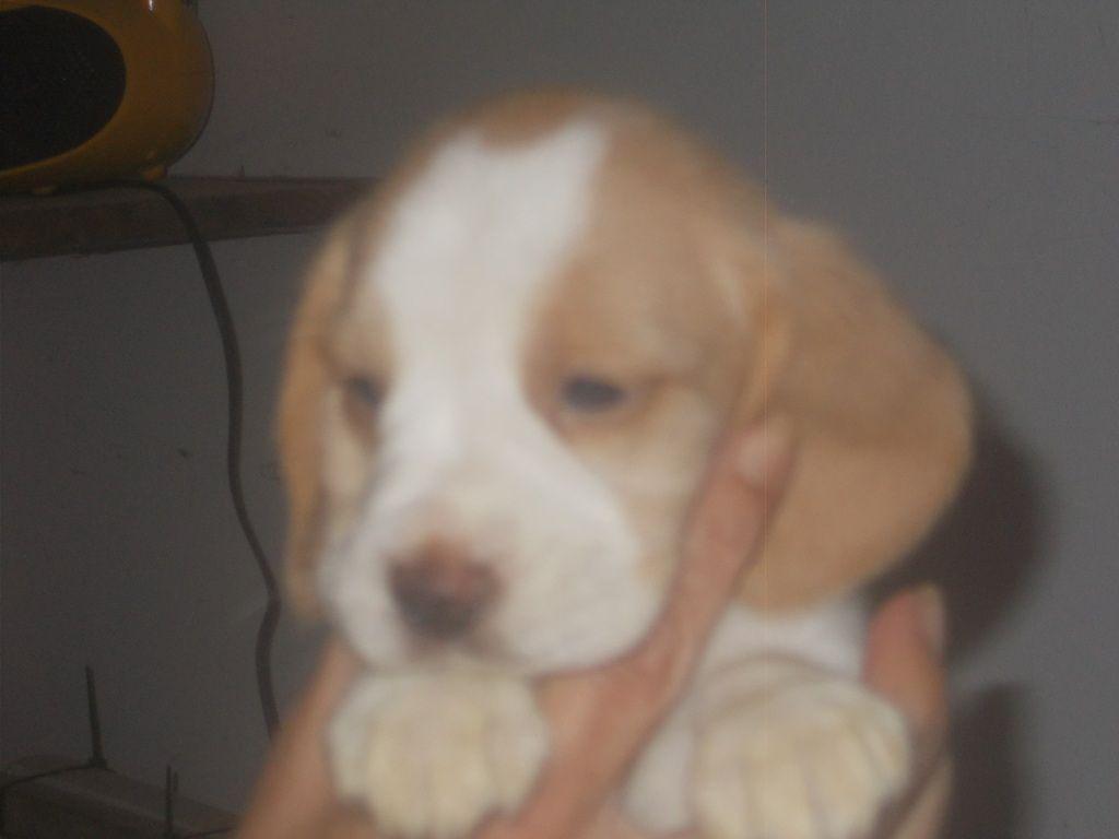 Du clos machard - Chiot disponible  - Beagle