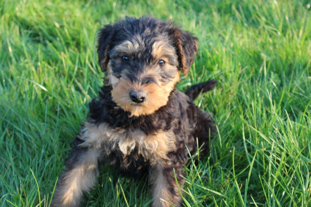 CHIOT - Airedale Terrier
