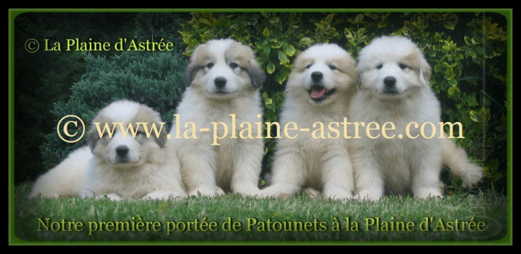 de la Plaine D'Astree - CHIOTS PATOU MONTAGNE DES PYRENEES DISPONIBLE