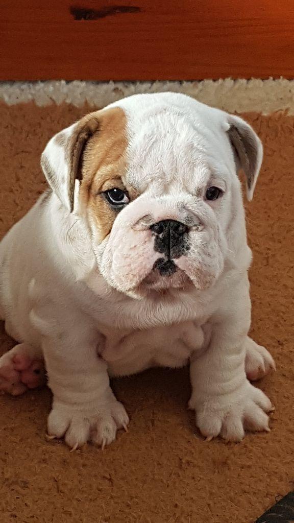 des Charmes d'Halliwelle - Chiot disponible  - Bulldog Anglais