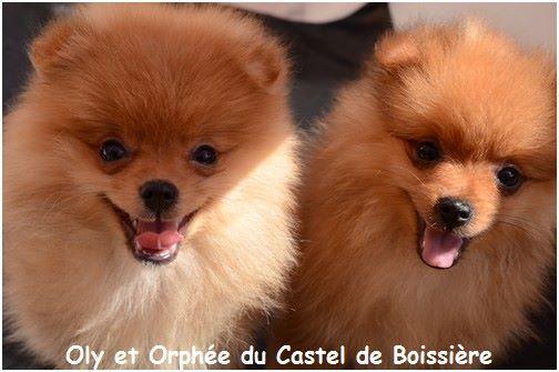 du Castel de Boissière - Chiot disponible  - Spitz allemand