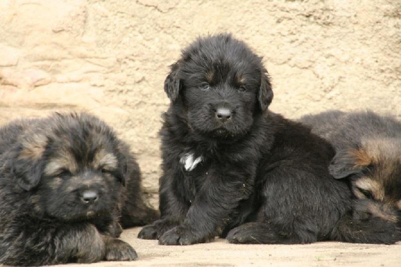 chiot elevage des lions du nam tso eleveur de chiens dogue du tibet. Black Bedroom Furniture Sets. Home Design Ideas