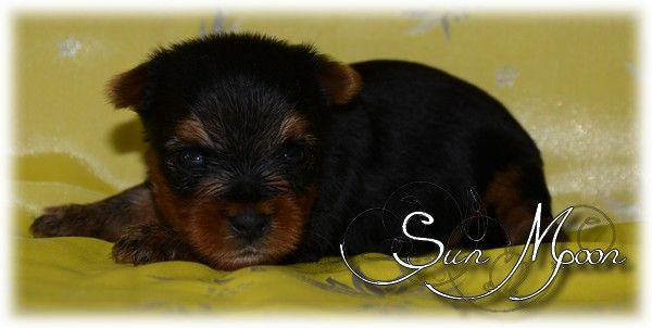 of Sun Moon - Chiot disponible  - Yorkshire Terrier