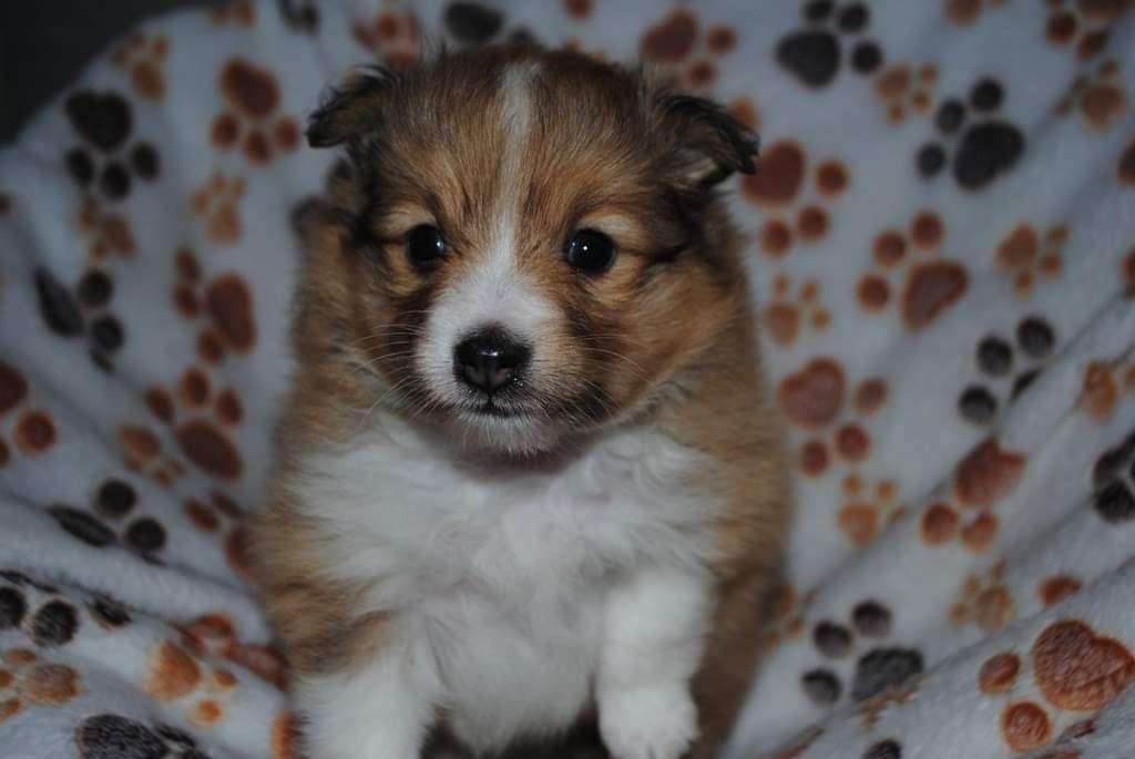 des Diablotins de Nooch - Chiot disponible  - Shetland Sheepdog