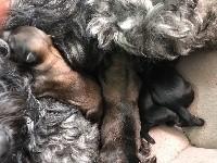 Terrier tibetain - magnifique pedigree pour cette portée, parents super caractère - Du clan de lis