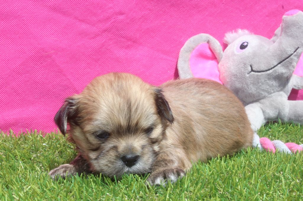 of caniland's dream - Chiot disponible  - Lhassa Apso