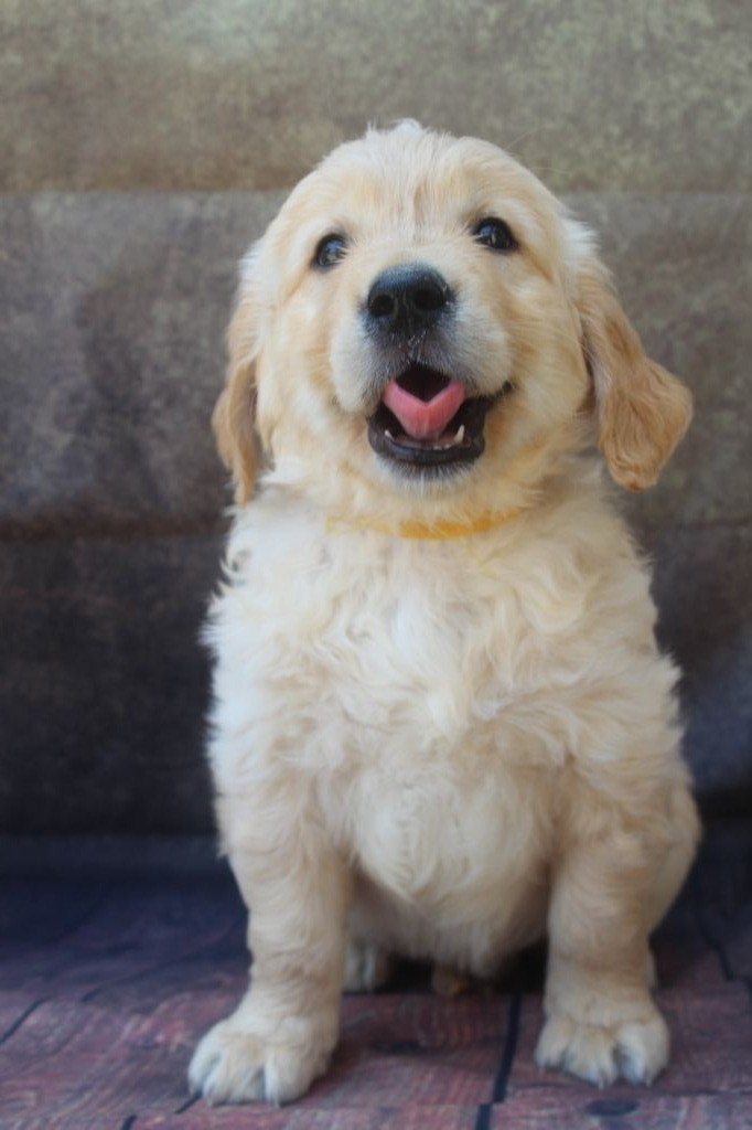 male fauve (collier jaune) - Golden Retriever