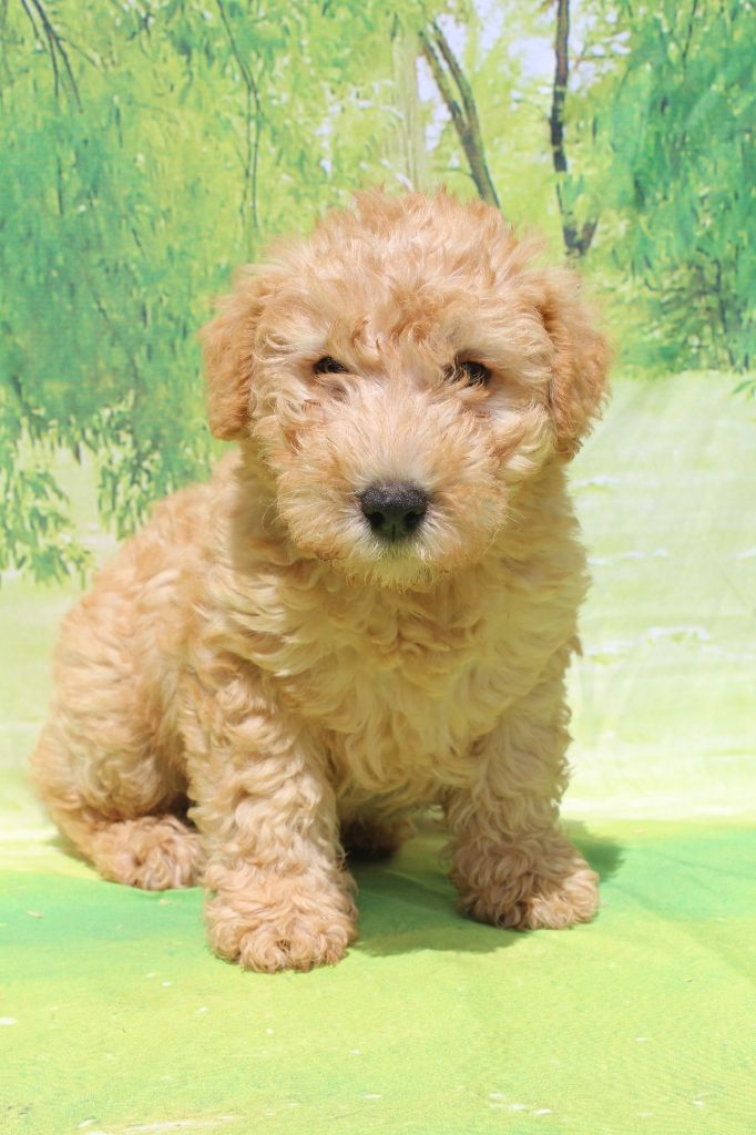 male fauve - Lakeland Terrier