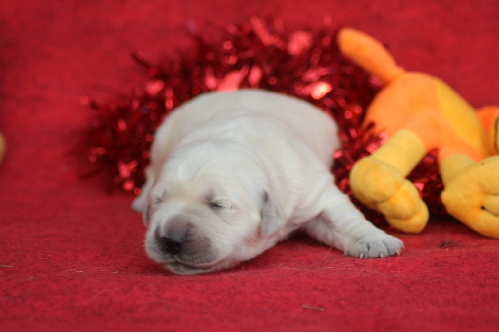 of caniland's dream - Chiot disponible  - Golden Retriever