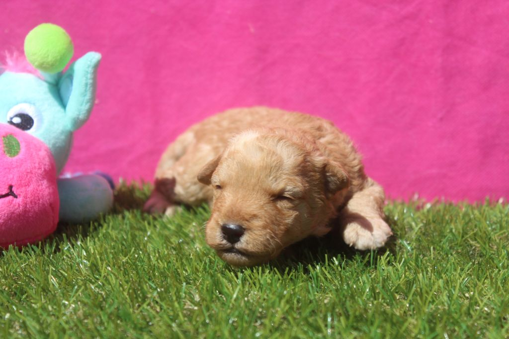 of caniland's dream - Chiot disponible  - Lakeland Terrier