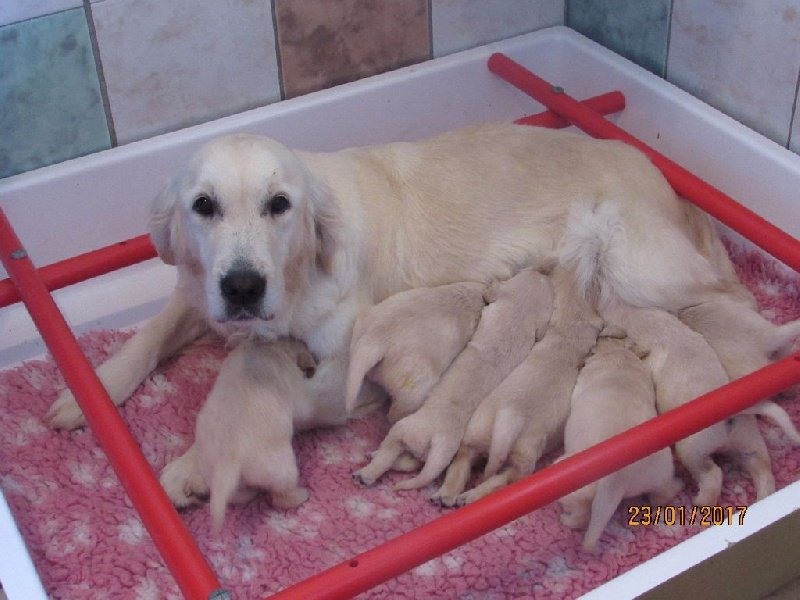 chiot Golden Retriever of caniland's dream