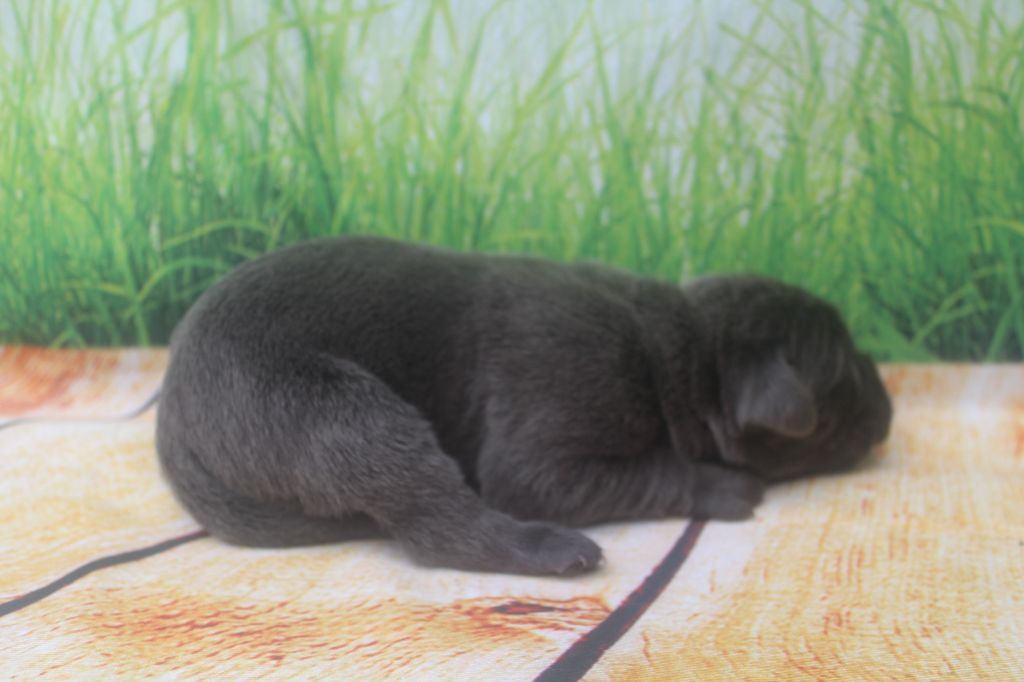 of caniland's dream - Chiot disponible  - Cane Corso